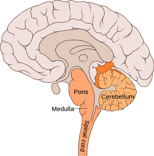 brain pons