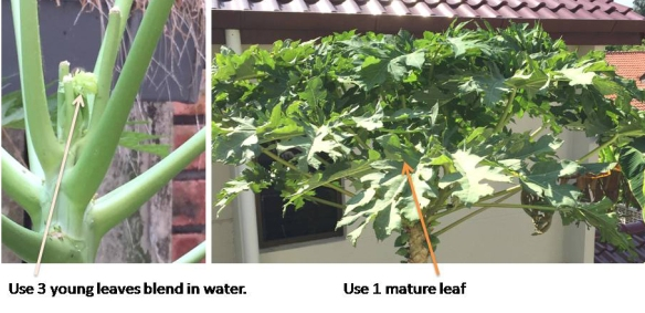 2 Papaya leaf