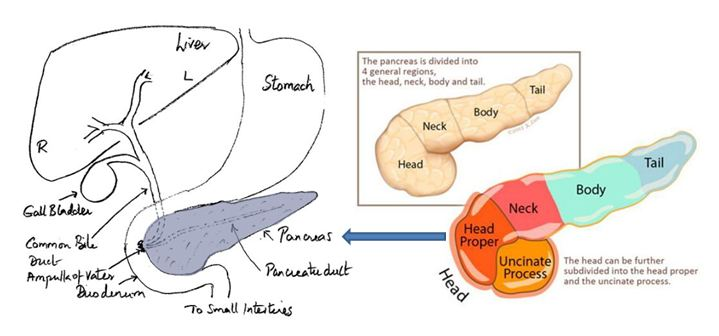Pancreas Diagram Images - Reverse Search